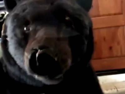 Видео: Медвежонок-рецидивист пробрался в гараж и напугал хозяйку