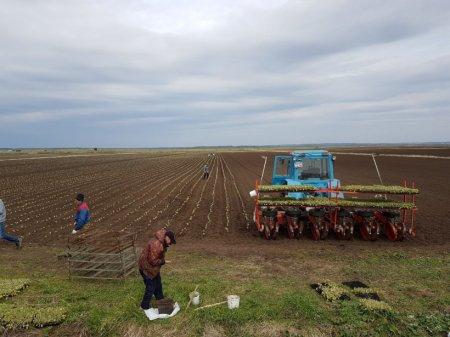 Площадь посевов картофеля и кукурузы в Подмосковье превысила показатели прошлого года