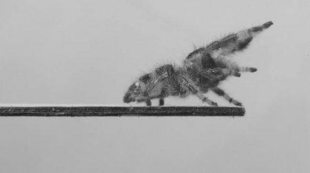Ученые научили паука прыгать, чтобы затем научить роботов