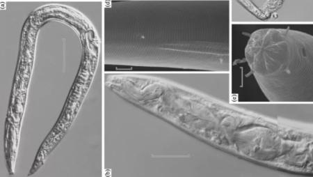 Российские ученые утверждают, что воскресили 40000-летних червей, похороненных во льду