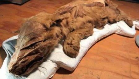 В Канаде найдены мумифицированные тела 50 000-летних волка и оленя