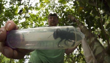 Обнаружена гигантская пчела, которую считали вымершей на протяжении 40 лет