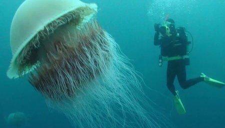 Как выглядит самая большая медуза и чем она опасна?