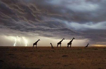 Как часто по высоким жирафам бьют молнии?